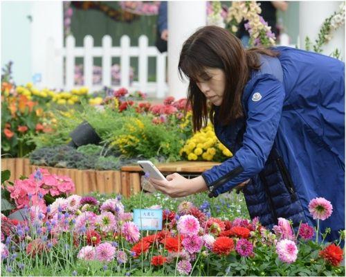 今年花展以大丽花为主题花。