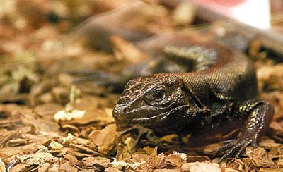 香港海洋公园展出珍稀蜥蜴 中华鲟馆将于6月重